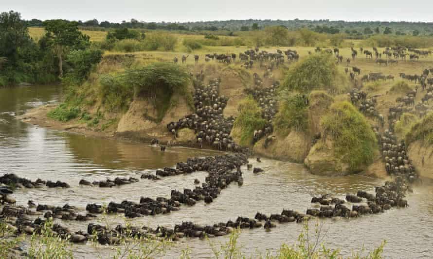 Herds of wildebeest cross the river in Masai Mara
