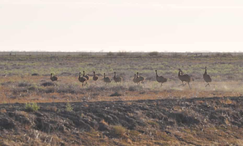Emus at Nimmie-Caira near Balranald