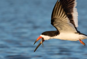 Black skimmer flying with a fish it caught over the ocean in Galveston, Texas.