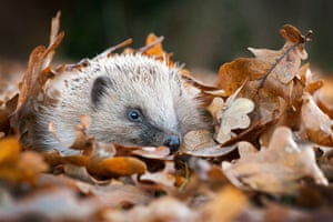 Britain's Most Loved Mammal by Lawrie Brailey