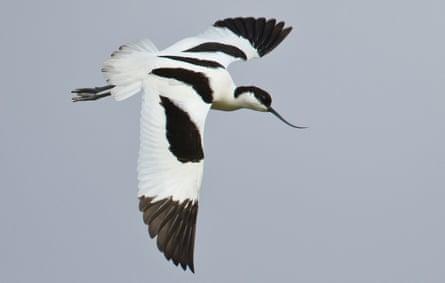 An avocet seabird