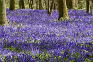 Bluebells in the Spinney woodlands in Rotherfield Greys, Oxfordshire, UK