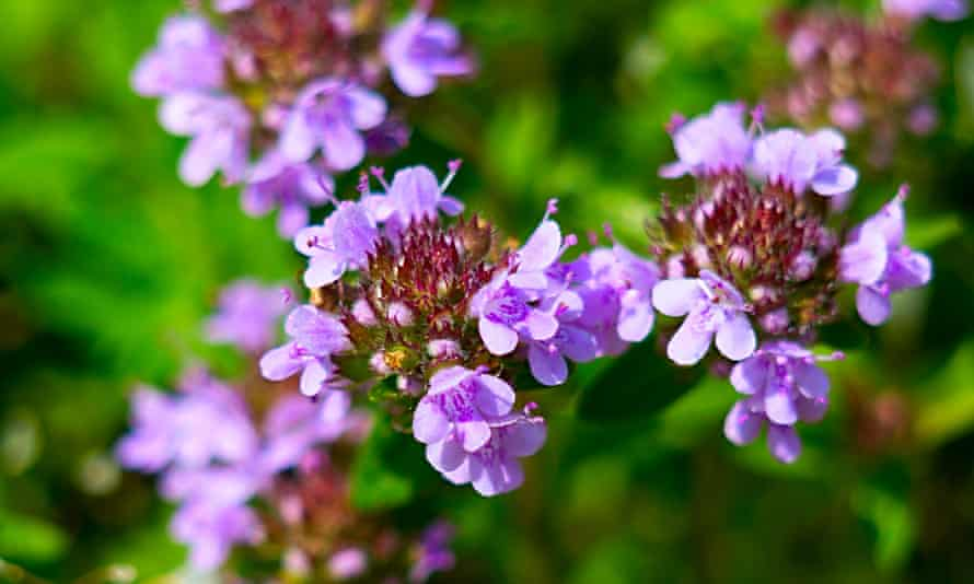 Purple creeping thyme