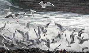 Black-headed gulls among the breaking waves.