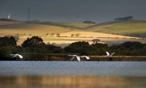 Migrating whooper swans.