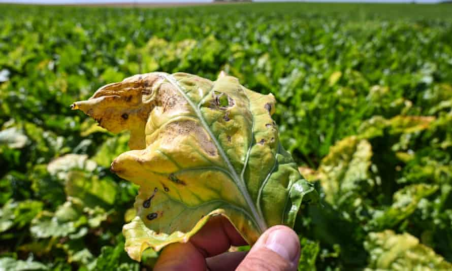 A beet leaf infected with yellows virus.