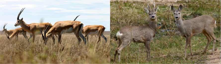 Countershading in gazelle and roe deer fur patterns.