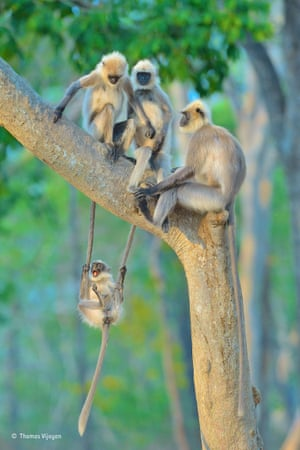 The winning image King of the swingers. Grey langurs play in the evening light of Bandipur National Park, Karnataka, India. Vijayan travelled from Canada to India to photograph tigers and leopards. After a day on safari with no sight of the big cats, his attention was caught by a group of gray langurs playing on a nearby tree