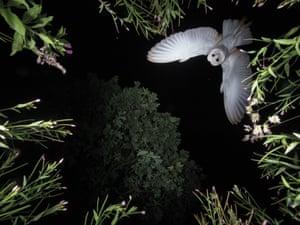 Barn owl (Tyto alba), Wigan, UK