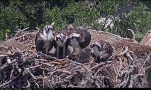 Ospreys captured by a bird cam set up by Cornell University
