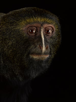 Hamlyn's monkey – vulnerableHamlyn's monkeys live in the Democratic Republic of Congo and Rwanda and have been threatened due to intense conflict in these regions.