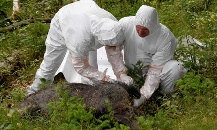 Vets of a salvage team wearing protective suits inspect a dead boar