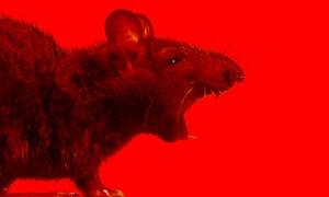 Man v rat: could the long war soon be over? | Jordan Kisner ...