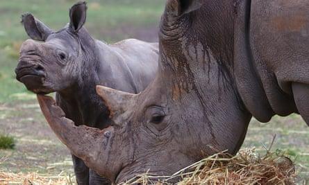 A white rhino calf rubs against its mother's horn