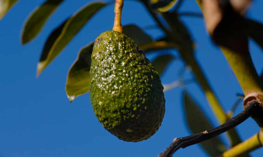 An avocado, ripe for the picking
