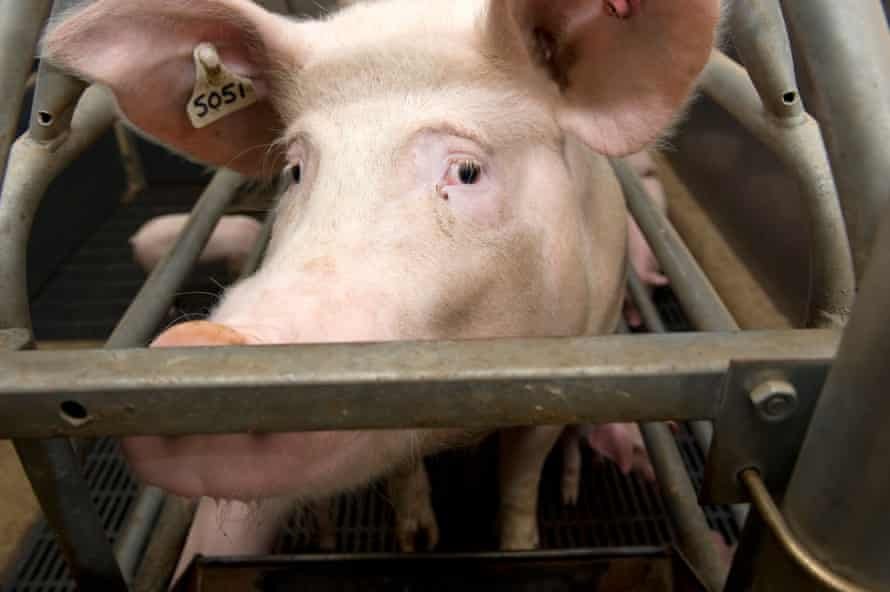 A pig in a pen on a UK pig farm