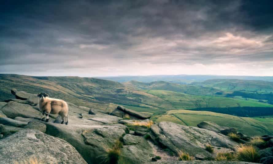 Sheep atop gritstone rocks, Kinder Plateau