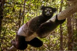 The secretive indri of Madagascar, the largest living lemur.