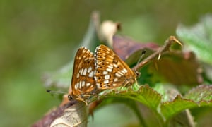 Duke of Burgundy fritillary is one species that has increased due to conservation efforts