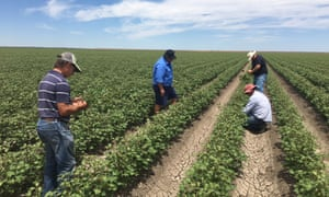 Growers inspecting damaged cotton near Walgett in northern New South Wales.