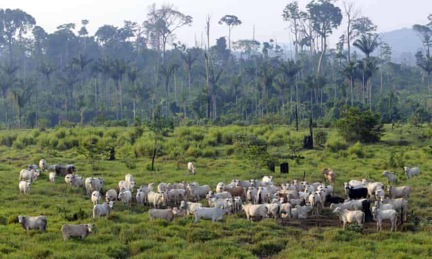 Cattle at an illegal settlement in the Jamanxim National Forest, northern Brazil.
