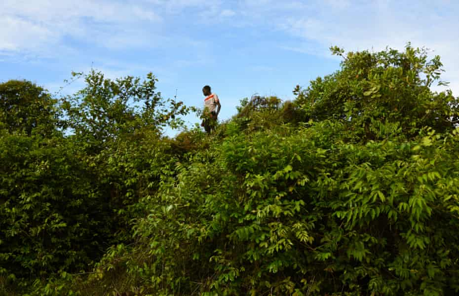Young boys climb trees to pick fruit off trees, which are considered sacred on Orango Island.