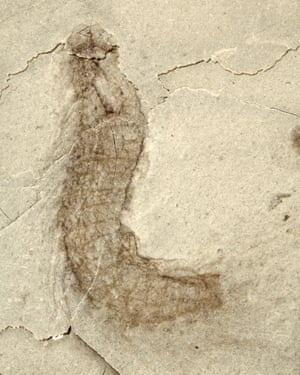 A fossilised kinorhynch, otherwise known as a mud dragon.