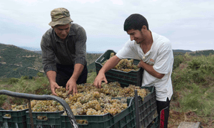 Grape white hope … harvest time at Cobo Winery, Albania.