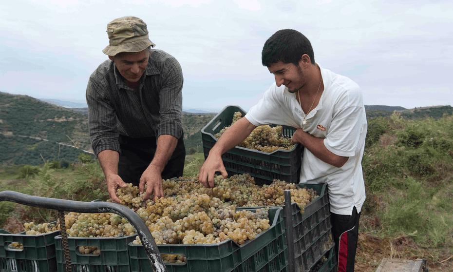 Grape white hope … harvest time at Cobo Winery, Albania.
