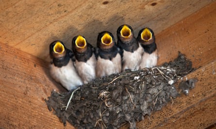 A single brood of young swallows will eat about 150,000 insects between hatching and flying the nest.
