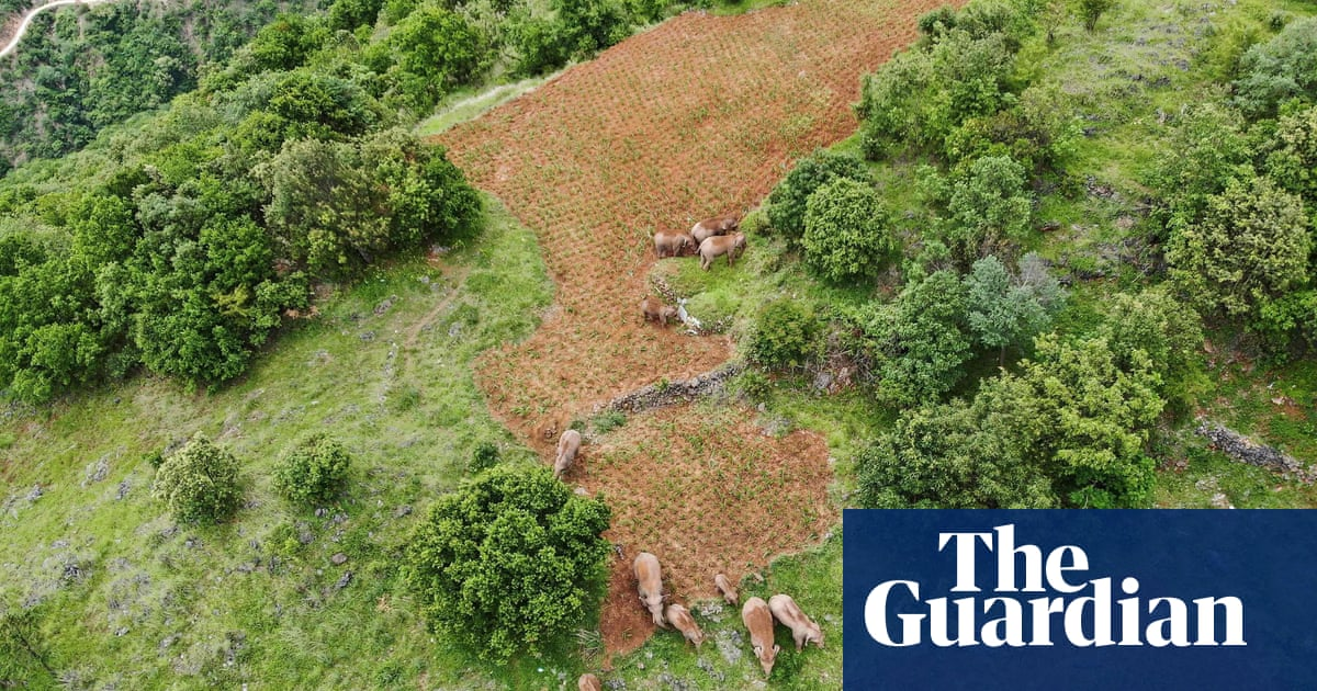 China's herd of wandering elephants finally heads for home