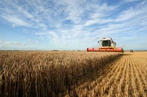 Harvesting wheat in the west Norfolk fens