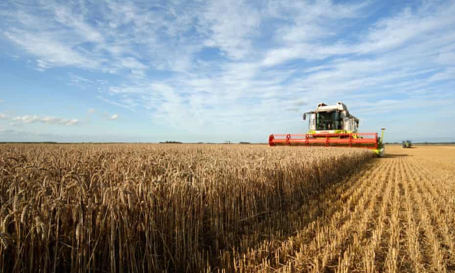 Harvesting wheat in Norfolk