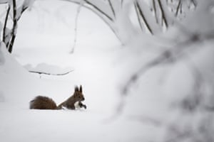 A squirrel in a snowy park in Moscow, Russia