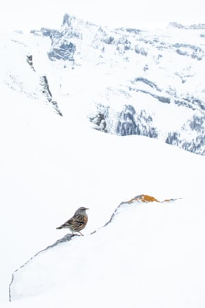 Second place, birds category: Lukas Thiess - Alpine accentor at the Gemmi pass