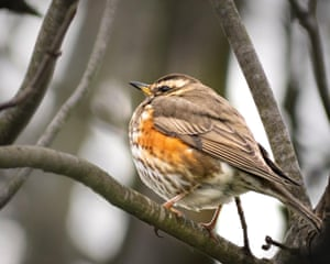 A redwing in St Albans on 6 March.