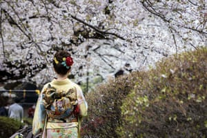 A woman dressed in Japanese traditional kimono poses with cherry blossoms in full bloom in Tokyo