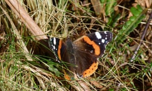 Red admiral butterfly (Vanessa atalanta), at Slufters Inclosure, New Forest.