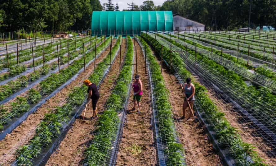 Workers tending the fields at a cannabis farm in Koszalin, Poland.