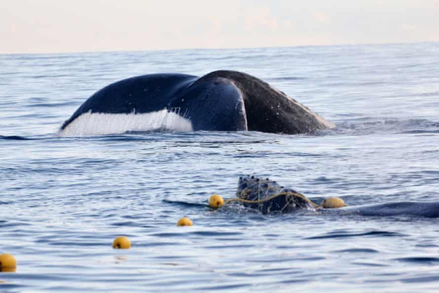 The baby humpback whale with an adult near by