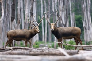 Elks in Dafeng national nature reserve for elks in east China.