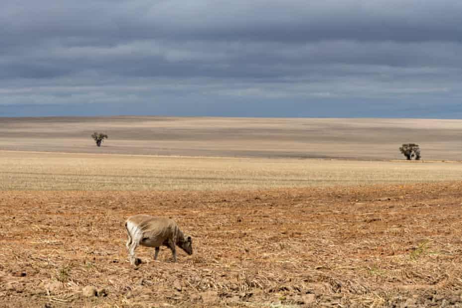 A lone sheep on the farm of Simon Wallwork and Cindy Stevens.