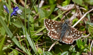Fewer grizzled skippers took to the skies than in any year since the scientific monitoring of butterflies began more than 40 years ago.