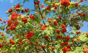 Smaller species such as the rowan tree are suitable for gardens.