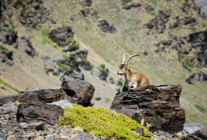 A Spanish ibex in the Sierra Nevada, Granada, Spain
