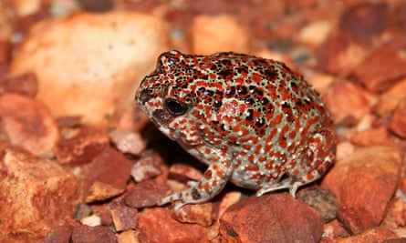 This desert spadefoot, or Notaden nichollsi, was one of 10,000 frogs or toads relocated from the LNG plant site during its seven-year construction period.