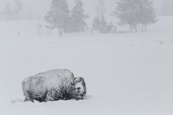 How Native American tribes are bringing back the bison from