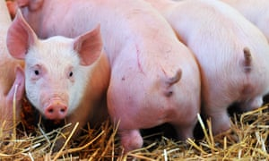Pigs with docked tails