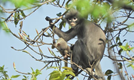 In this undated handout photo released by the German Primate Center (DPZ), the newly discovered primate named Popa langur (Trachypithecus popa) is seen on a tree branch on Mount Popa, Myanmar