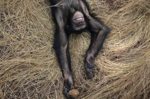 A male named Sam lies in the grass at the Chimpanzee Conservation Centre in Somoria, Guinea